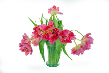 blooming pink tulips in vase isolated on white background