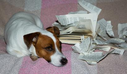 Jack-Russel-Terrier mit kaputtem Buch