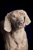 Weimaraner dog portrait poster
