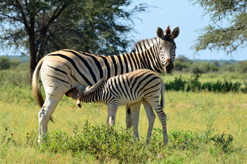 baby zebra at breast-feeding