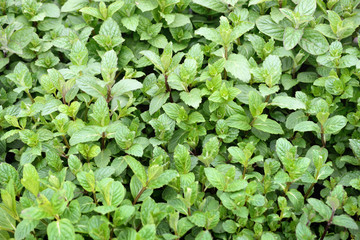 Mint plants to the market in Italy