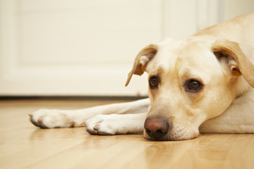 Labrador retriever is laying on the floor.