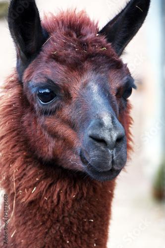 In de dag Lama Llama