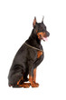 Sitting doberman dog isolated on white