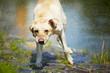 Labrador retriever is shaking - blurred motion