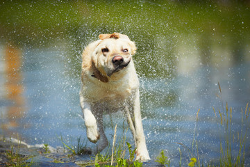 Labrador retriever is shaking - blurred motion
