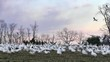 Snow Geese Fly at Dusk