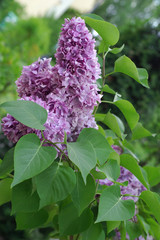Syringa  in the garden