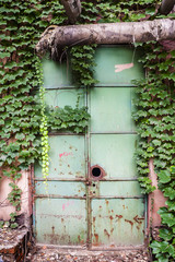 Ivy plant on the rusted iron door