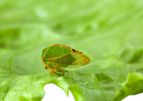 Cicada on lettuce leaf