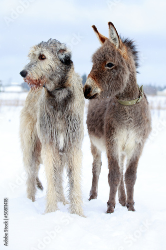 irish wolfhound dog and donkey