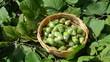 hand picks ripe hazel nutwood nuts wicker wooden dish