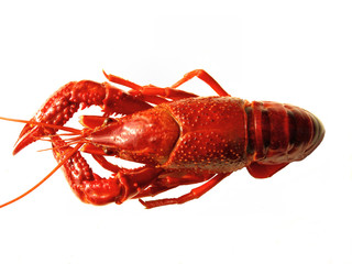 Closup of crawfish isolated
