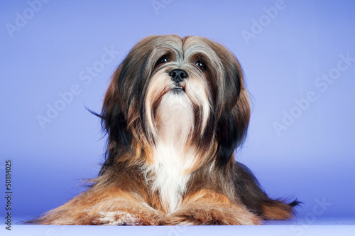 lhasa apso dog on purple background