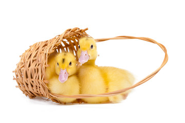 Two yellow little ducks in wooden basket on white background