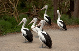 Group of Australia Pelicans