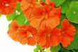 Blooming nasturtium in the garden