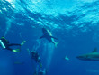 Caribbean reef shark (Carcharhinus perezi) and divers