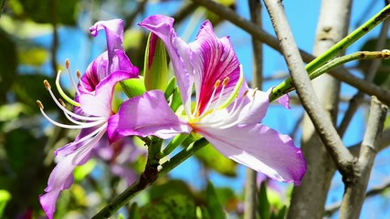 Beautiful pink flowers of the orchid tree