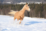 Czech Warmblood, 10 Years Old Mare