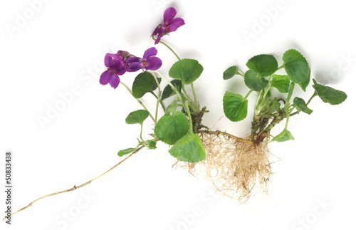 Viola odorata on a white background