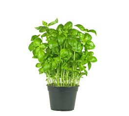 fresh basil plant