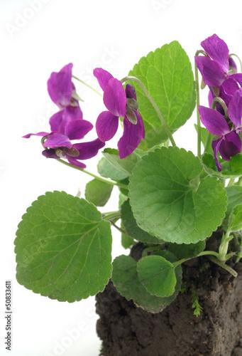 Viola odorata on a white background