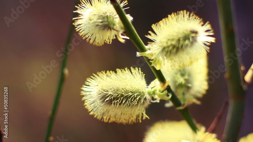 Willow buds, macro shot. 1080p.