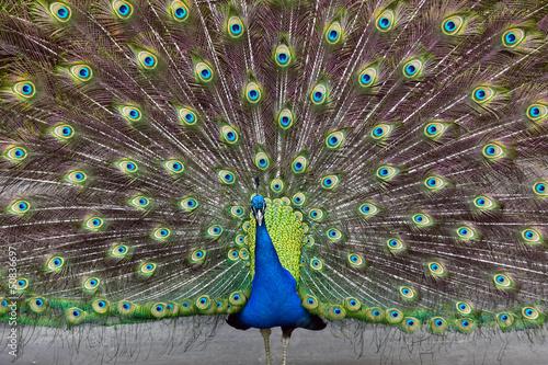 Deurstickers Pauw peacock