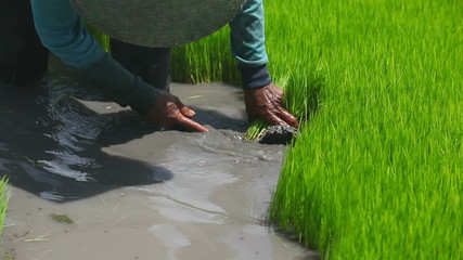 Farmer working on rice field in Bali Indonesia
