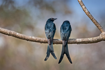 Pair of Black Drongo perched on a branch in sunlight