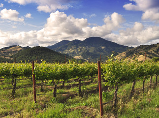 Calistoga Vineyard Scene