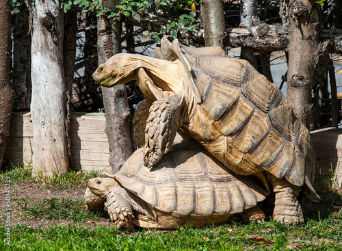 Two Giant Tortoises Mating