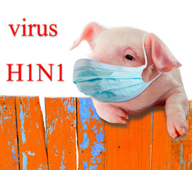 H1N1 virus. Pig wearing a mask hanging on the fence