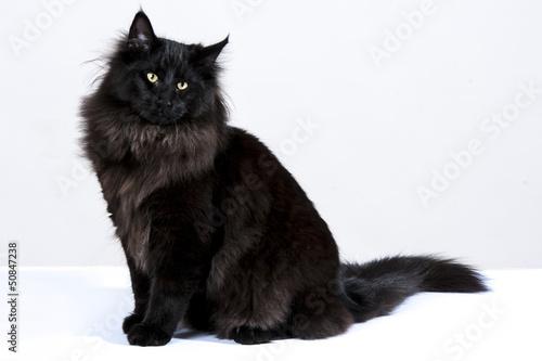 gatto nero 4