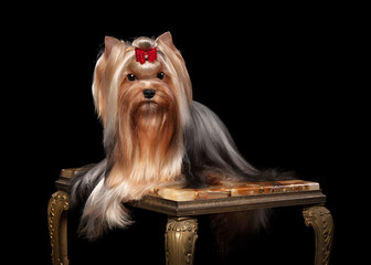 yorkie puppy on marble table with wooden texture