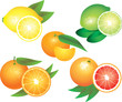 citrus fruits photo-realistic vector set