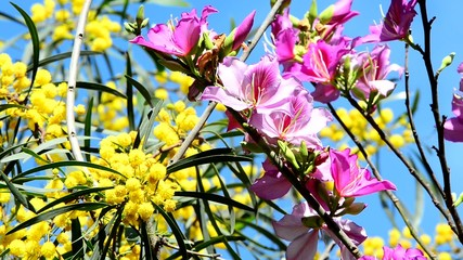Fluffy yellow mimosa balls and pink flowers of the orchid tree