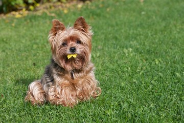 Yorkshire terrier and yellow leaf