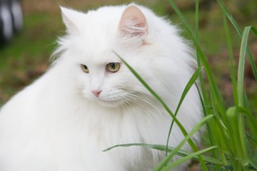 Big white cat and grass