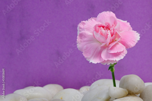Carnation on Pebbles