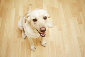 Yellow labrador retriever is siting on the parquet floor.
