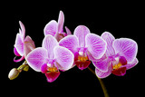 Phalaenopsis, moth orchid flowers and buds on black background