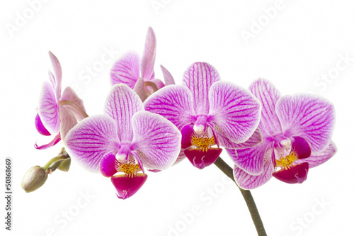 Phalaenopsis; moth orchid flowers and buds on white background