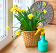 Basket with daffodils and sprayer on the balcony window.