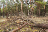 Pine forest with deadwood in Byrums sandvik