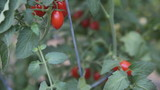 ripening cherry tomatoes in late summer