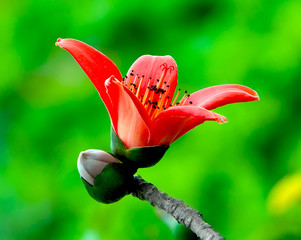 Red Silk Cotton Flower - Latin name is Bombax Ceiba