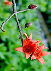 Red Silk Cotton Flower - Latin name is Bombax Ceiba