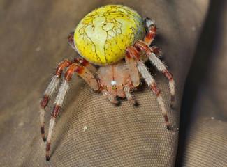 Spider (garden-spider) 1